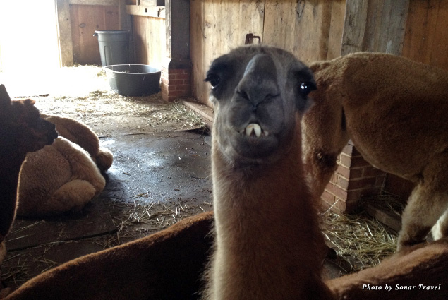 Young and old alpacas hang out on Alpaca Island