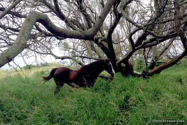 Local horse in the meadow near Paia Bay Suites