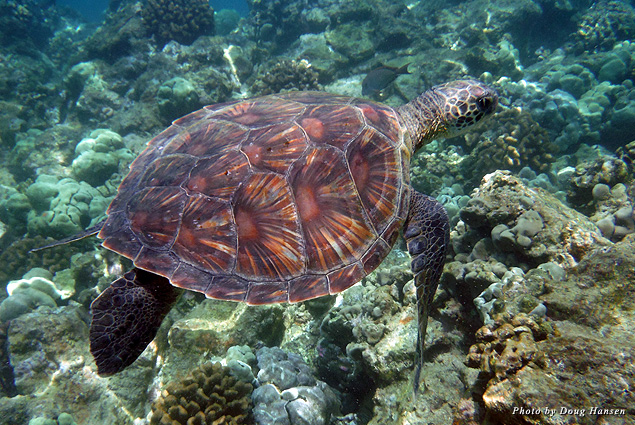 Green sea turtles are gentle, graceful swimmers