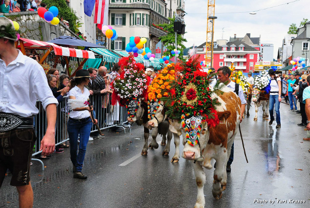 Cattle run in Kufstein