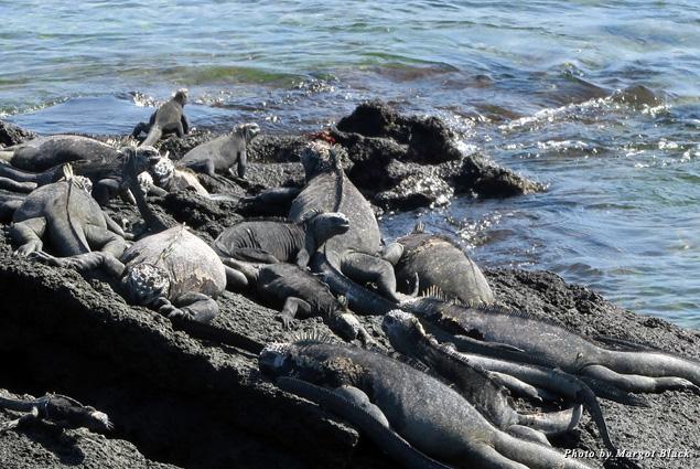 A blanket of iguanas