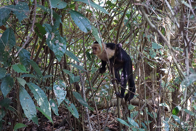 White-faced monkey in Manuel Antonio National Park