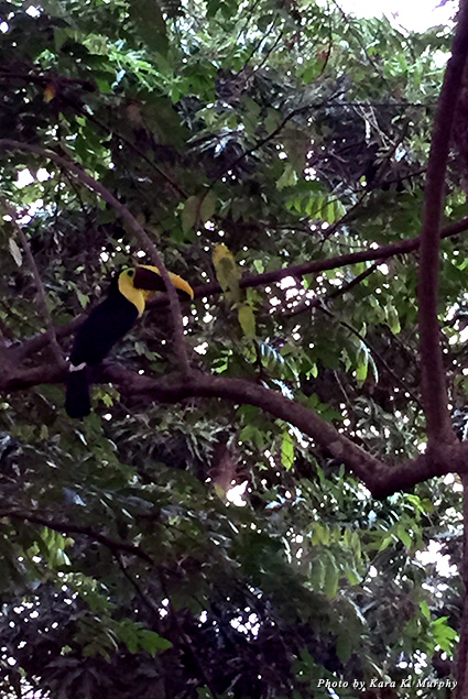 A chestnut-mandibled toucan at Mango Moon