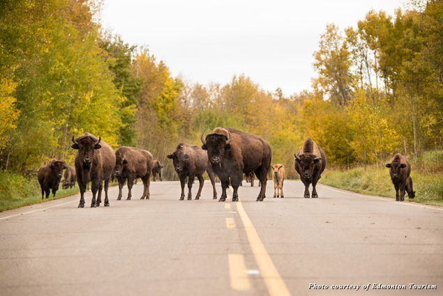 Bison stand in the middle of the road at Elk Island National Park
