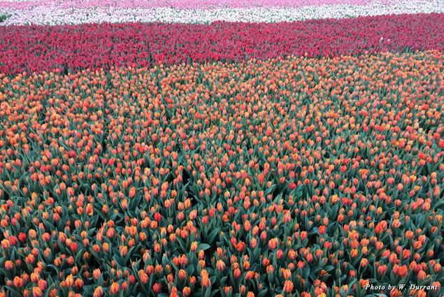 Tulips at Tivoli Gardens