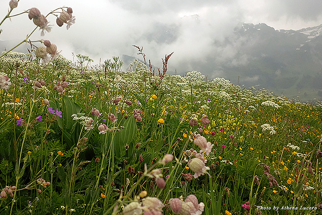Summer herbs, grasses, and flowers blanket alpine meadows