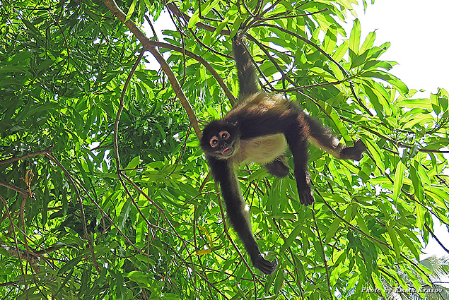 Spider monkeys are shown on a tour of Jiquilisco Bay