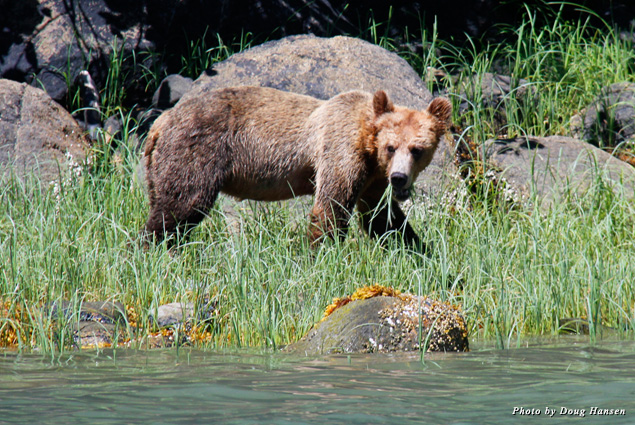 A young grizzly stands by the shore eating tall grass