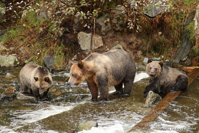 A grizzly and its cubs fish for salmon