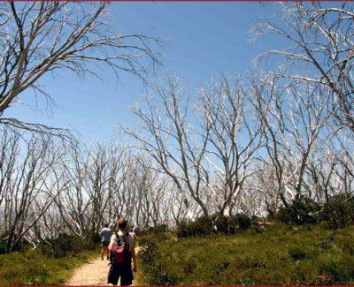 Bushwalk trees