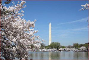 D.C. has cherry blossom fever