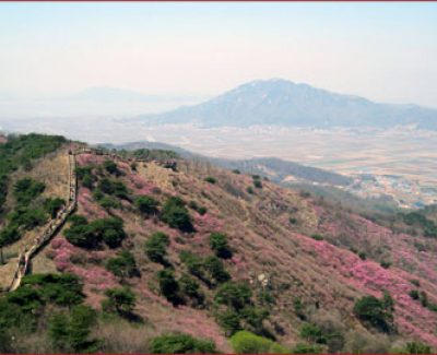 A view of the azaleas on Mt. Goryeosan