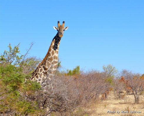 A giraffe in Zimbabwe